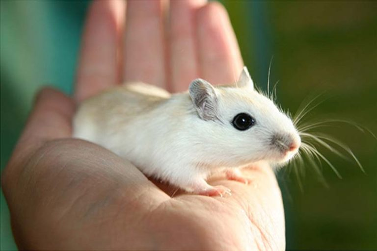Are Gerbil Good Pets For Children?, gerbil vs hamster vs guinea pig, gerbil vs guinea pig, gerbil cost, gerbil vs hamster size, gerbil vs rat, pet gerbil lifespan, mongolian gerbil, gerbil vs mouse,