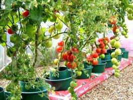 How to Grow Tomatoes in Pots