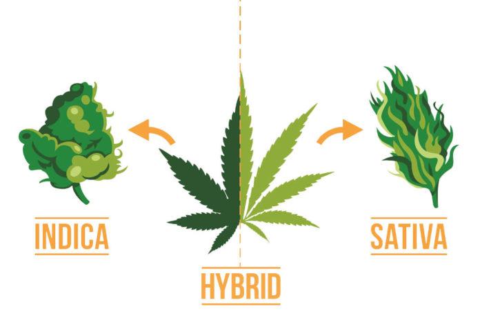 Marijuana Indica Hybrid Sativa