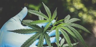 When to Adjust pH and PPM During a Cannabis Grow